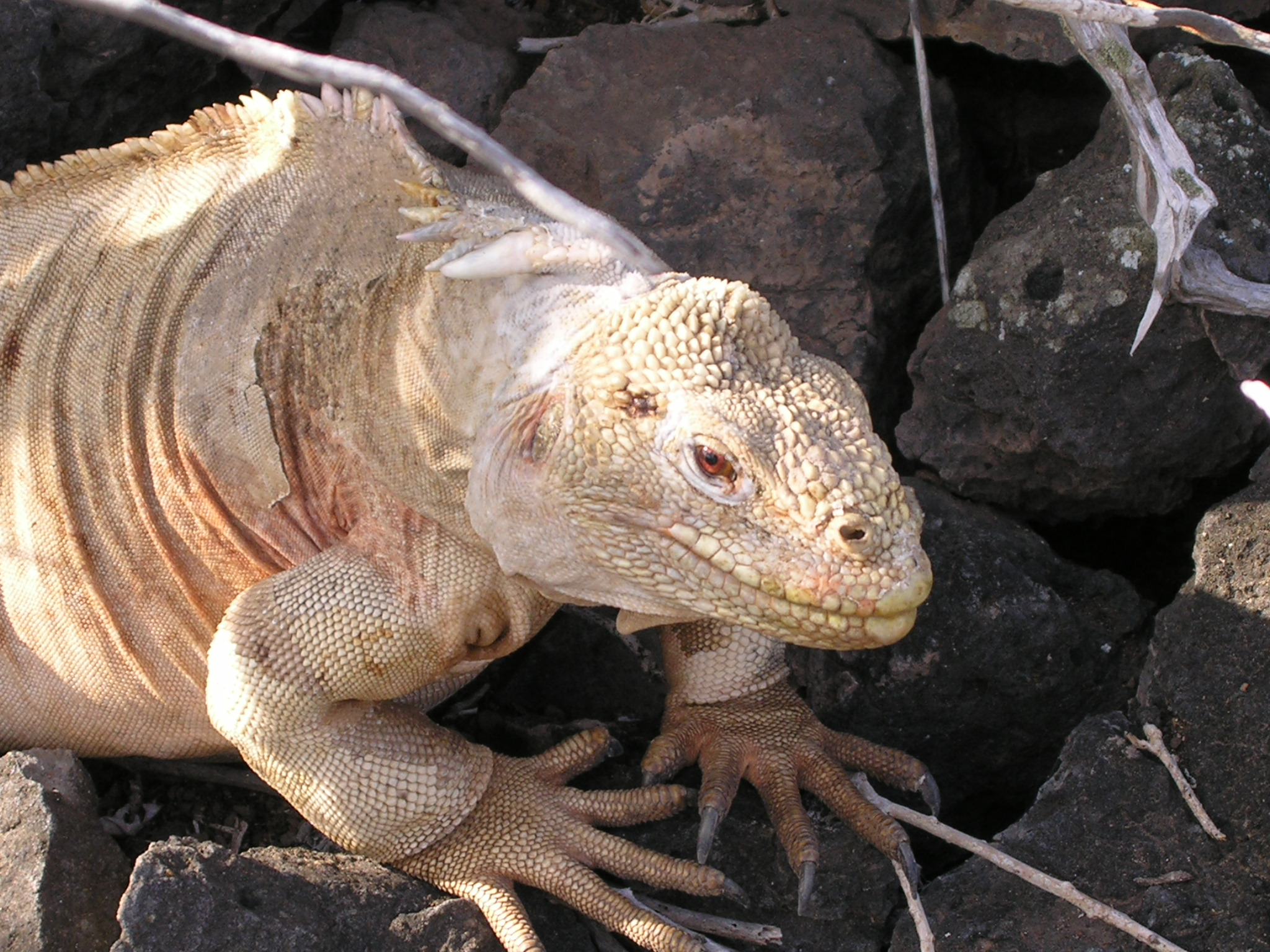 Galápagos land iguana. Credit: Francesco Bandarin