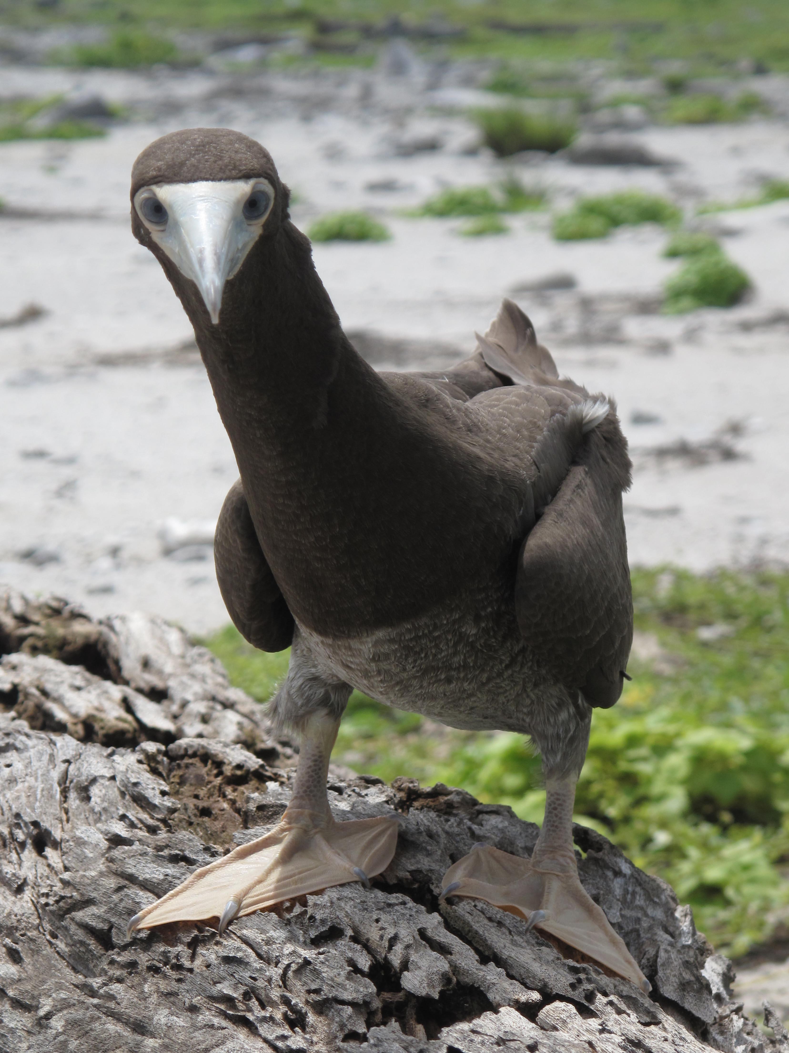 Immature brown booby, Phoenix Islands Protected Area (Kiribati). Credit: UNESCO/Ron Van Oers.jpg
