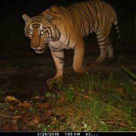 Averting crisis for Nepal's tigers