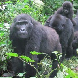 Salvando a los gorilas de montaña amenazados de extinción durante la crisis COVID-19