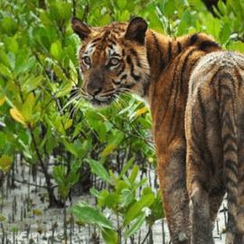 Salvando la vida de los tigres y las poblaciones humanas en los Sundarbans